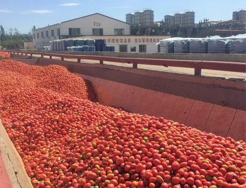 CHINESE TOMATOES : What will happen ?